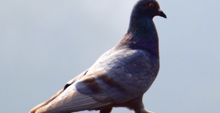 pigeon-repulsator